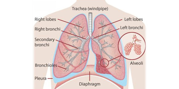 Kidsone knowledge articles facts about lungs ccuart Images